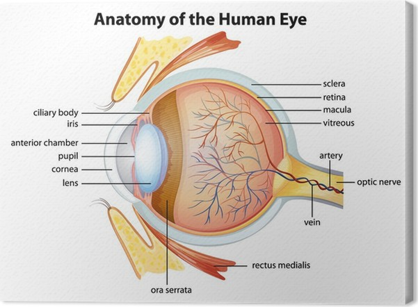 Cuadro en Lienzo Anatomía del ojo humano • Pixers® - Vivimos para ...