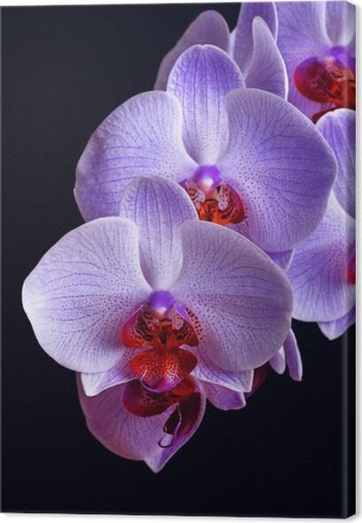 Cuadro En Lienzo Azules Flores De La Orquidea En Negro Pixers
