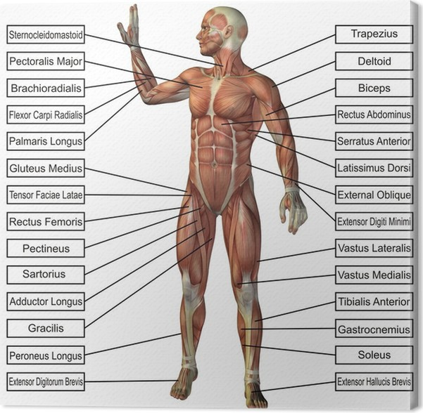 Cuadro en Lienzo Conceptual de alta resolución 3D de la anatomía ...