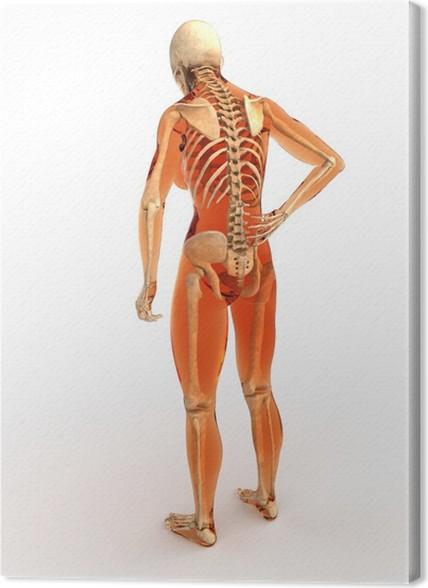 Cuadro en Lienzo Cuerpo humano con el esqueleto, vista posterior ...