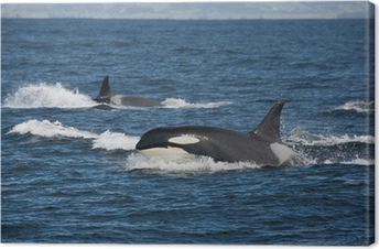 Cuadro en Lienzo Equipo Orca