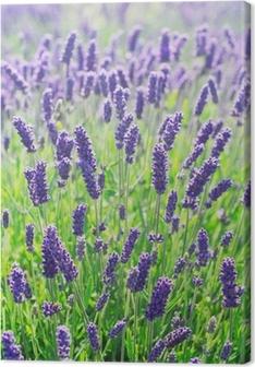 Cuadro en Lienzo Flores de lavanda en flor en un campo