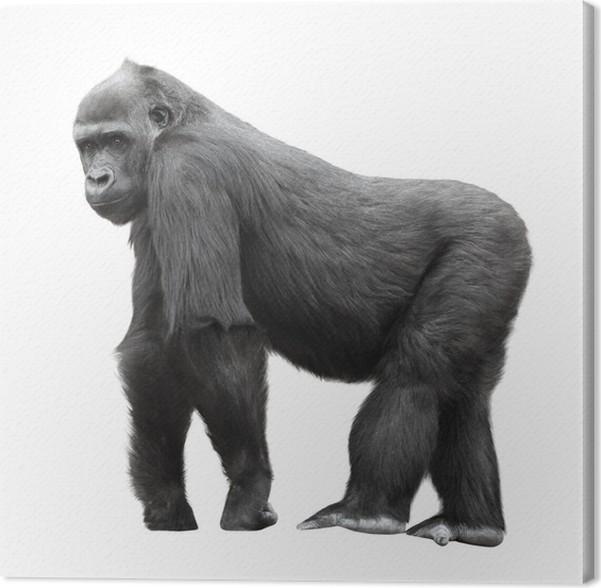 Cuadro en Lienzo Gorila espalda plateada sobre fondo blanco • Pixers ...
