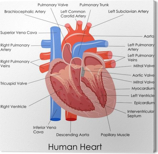 Cuadro en Lienzo Ilustración vectorial de diagrama de la anatomía ...