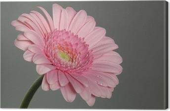 Cuadro en Lienzo Margarita gerbera rosa con rocío de la mañana