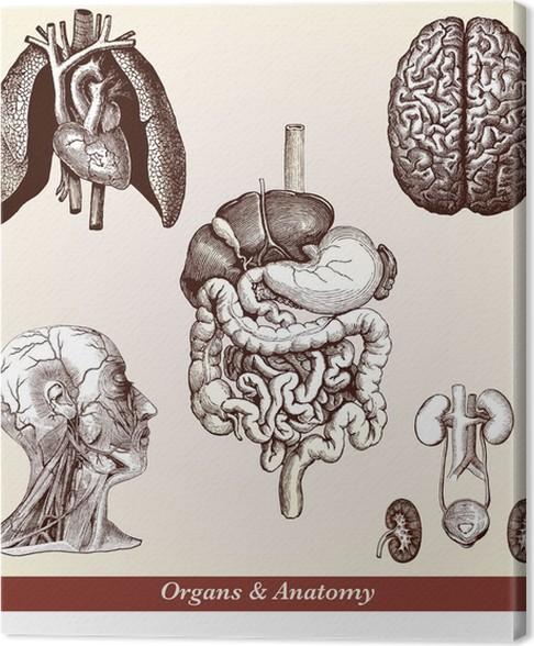 Cuadro en Lienzo Órganos y Anatomía • Pixers® - Vivimos para cambiar