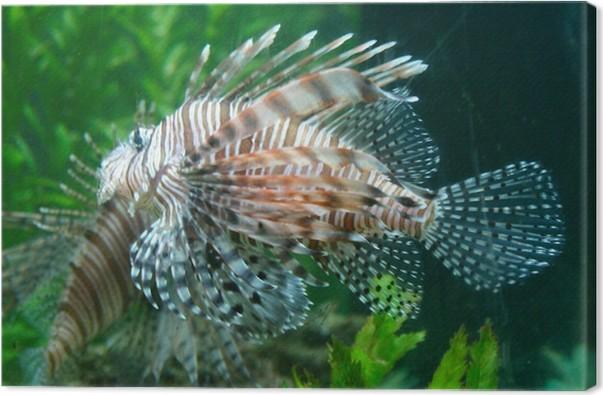 Cuadro en Lienzo Pez león, pez dragón, pez escorpión, pescados ...