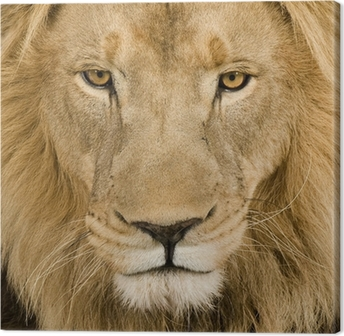 Cuadro en Lienzo Primer plano de la cabeza de un león (4 and a half years) - Panthera leo