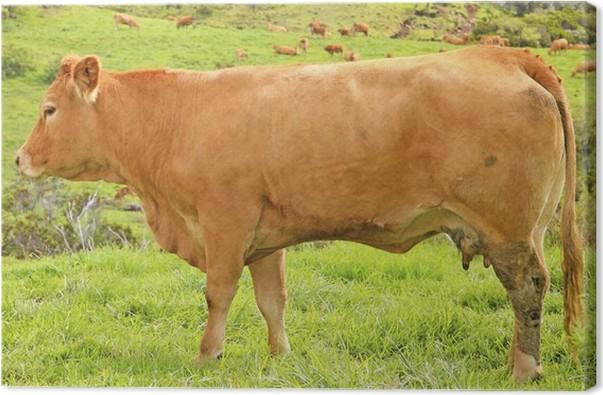 Cuadro en Lienzo Raza Limousin vaca • Pixers® - Vivimos para cambiar