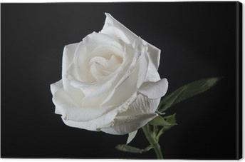 Cuadro en Lienzo Rosa blanca