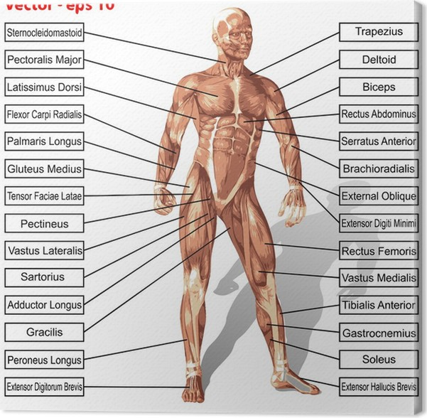 Cuadro en Lienzo Vector hombre anatomía humana con el texto músculos ...