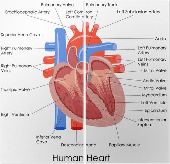 Único El Diagrama De Corazón Humano Marcado Molde - Anatomía de Las ...
