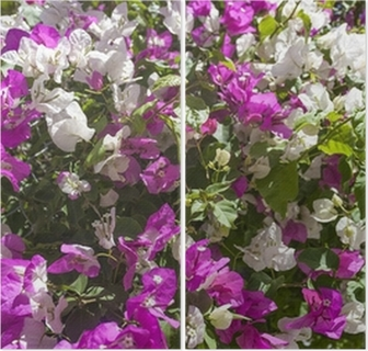 Hedge of bougainvillea with white and purple flowers wall mural hedge of bougainvillea with white and purple flowers wall mural pixers we live to change mightylinksfo