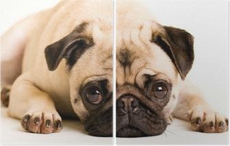 Poster Sad Pug Dog Laying Down Pixers