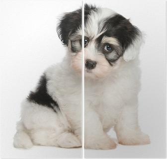 45de3fe341e Plakát Krásná šťastná načervenalý havanský psík štěně sedí čelní • Pixers®  • Žijeme pro změnu