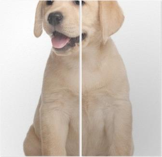 Diptyque Labrador puppy, 7 semaines, en face de fond blanc