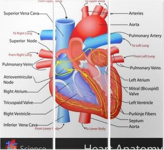 Fonkelnieuw Poster Anatomie van het Hart • Pixers® - We leven om te veranderen GG-46