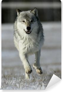 Vinil Duvar Resmi Gri kurt, Canis lupus