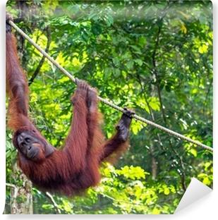 Vinyl Fotobehang Borneo Orangutan bij de Semenggoh Nature Reserve In de buurt van Kuching, M