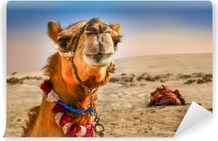 Vinyl Fotobehang Detail van het hoofd van de kameel met grappige expresion