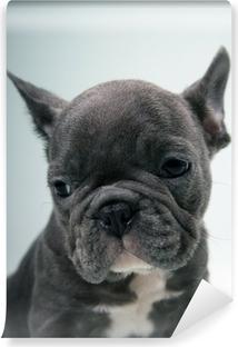 Vinyl Fotobehang Franse bulldog puppy portret