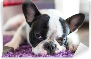 Vinyl Fotobehang Franse bulldog slapen op het tapijt