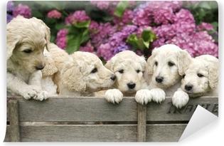 Vinyl Fotobehang Labradoodle pupies