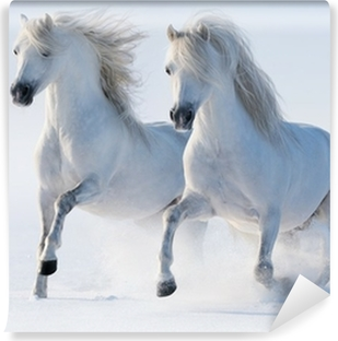 Vinyl Fotobehang Twee galopperende sneeuwwitte paarden