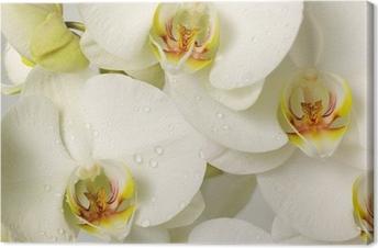 Hvide orkideer Fotolærred