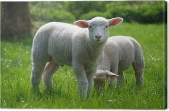Lamm (Schaf) auf Weide Fotolærred