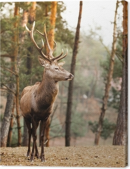 Røde hjorte hjort i efteråret efterår skov Fotolærred