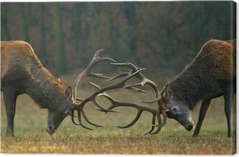 Røde hjorte kamp Fotolærred
