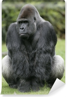 Fotomural Estándar Gorila de llanura occidental, Gorilla gorilla