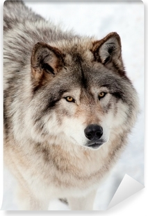 Fotomural Estándar Lobo gris en la nieve Mirando hacia arriba en la cámara