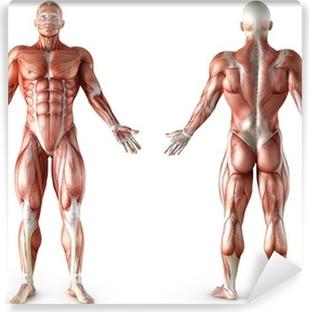 menschliche anatomie muskeln