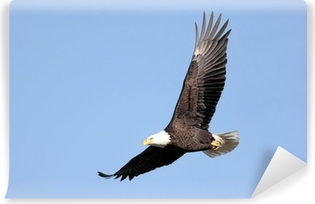 Vinyl-Fototapete Erwachsene Bald Eagle (Haliaeetus leucocephalus) im Flug gegen