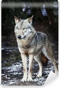 Vinyl-Fototapete Europaeischer wolf