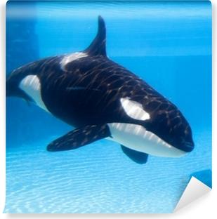 Vinyl-Fototapete Killerwal (Orcinus orca) in einem Aquarium