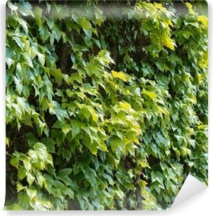 Vinyl-Fototapete Parthenocissus Ranke Kletter dekorative Pflanze