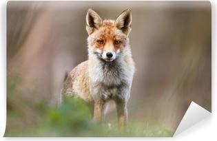 Vinyl-Fototapete Red fox