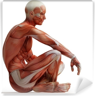 Anatomi, muskler Vinyl fototapet