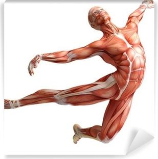 Fototapet av Vinyl Anatomi, muskler
