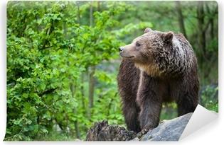 Brun bjørn (lat. ursus arctos) Vinyl fototapet