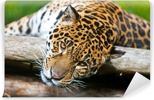 Fototapet av Vinyl Jaguar - Pantheraonca