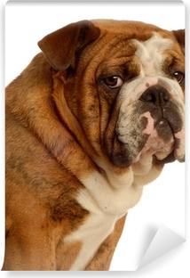 Ypperlig Ni måneder gammel engelsk bulldog hvalp - champion bloodlines XM-51