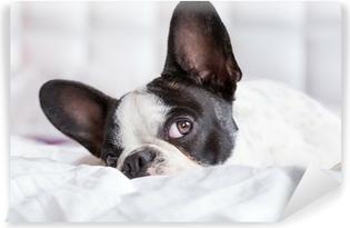 Sød fransk bulldog hvalp liggende i sengen Vinyl fototapet