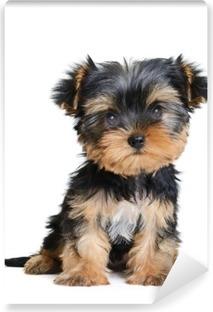 Fototapet av Vinyl Yorkshire terrier
