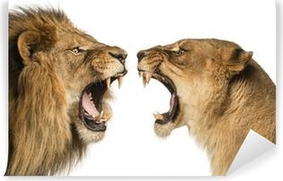 Fototapeta winylowa Close-up z Lion i Lioness ryk na siebie