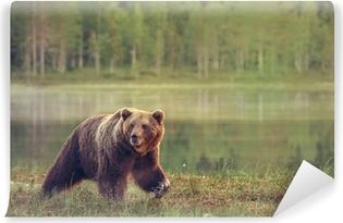 Fototapeta winylowa Duży samiec niedźwiedzia spaceru w bagnie na zachodzie słońca