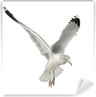 Vinylová Fototapeta Evropská Herring Gull, Larus argentatus, 4 roky starý, létání
